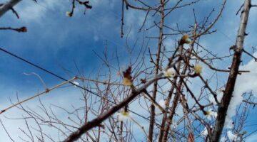 Ürgüp'te kışın yaşandığı bu günlerde erik ağacı çiçek açtı