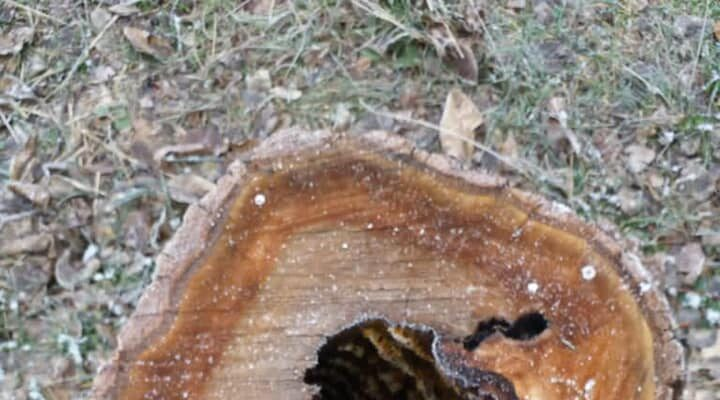 İçerisindeki arıları almak için ağacı kestiler