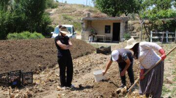 Nevşehir'de lale yumrusu hasadı başladı